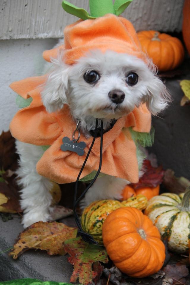 Itty Bit's, the Halloween Punkin Dog.