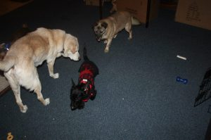 """Here is little """"Scotty"""" at Hubbard's Hounds Rescue meeting some new friends."""